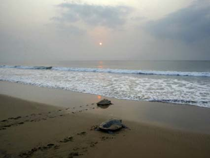 Olive Ridley Turtles Return to the Bay of Bengal Sea after Laying Eggs on Gokhurkuda Beach, India