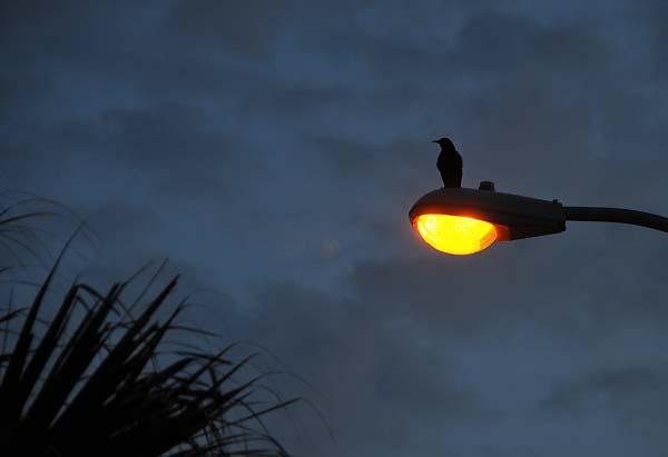 bird on a street light