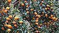 A farm growing tangerine, another popular small fruit similar to mandarins.