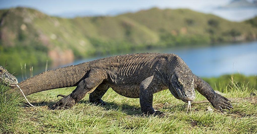 Komodo Dragon  The Living Dragon  DRACONIAN