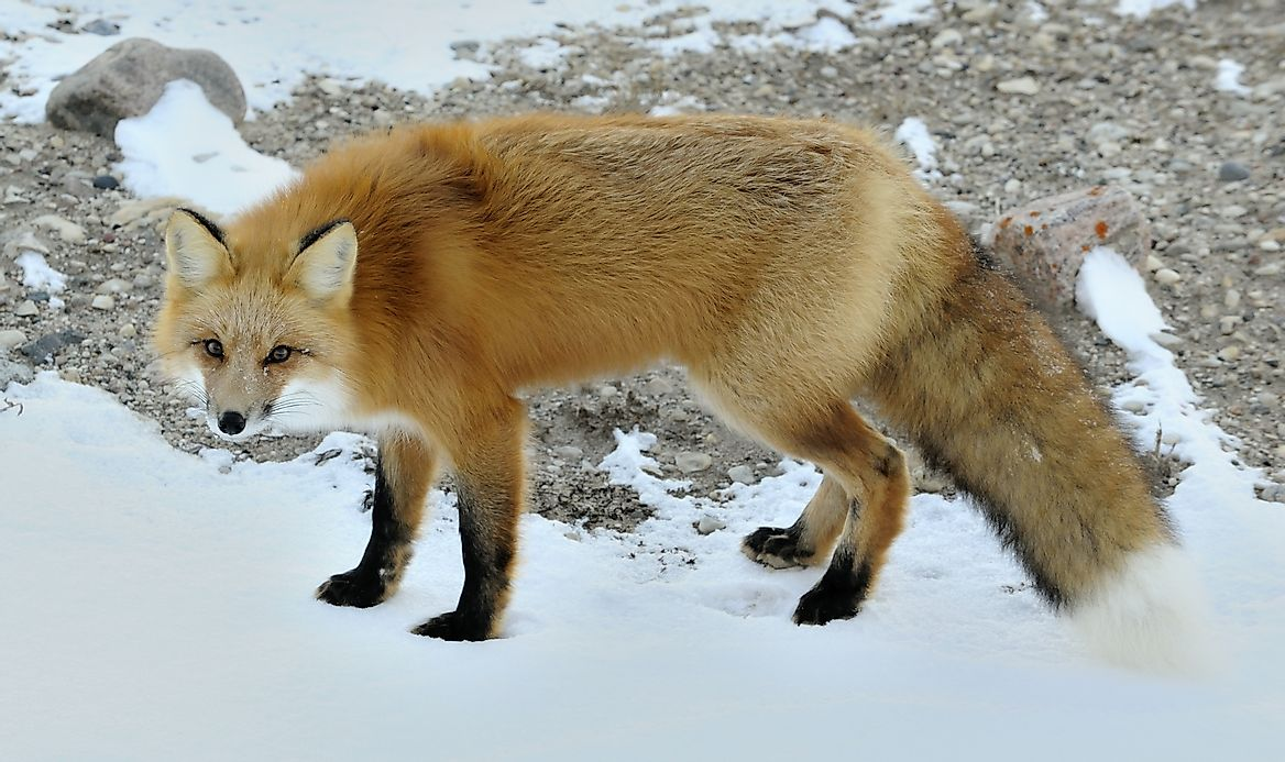 red fox in oceania essay The red fox it may happen that you start traveling in summer and, unintended, are not yet back in winter because there was no room in your 70-liter backpack for the thick down jacket, you will just stand there, clueless and freezing.