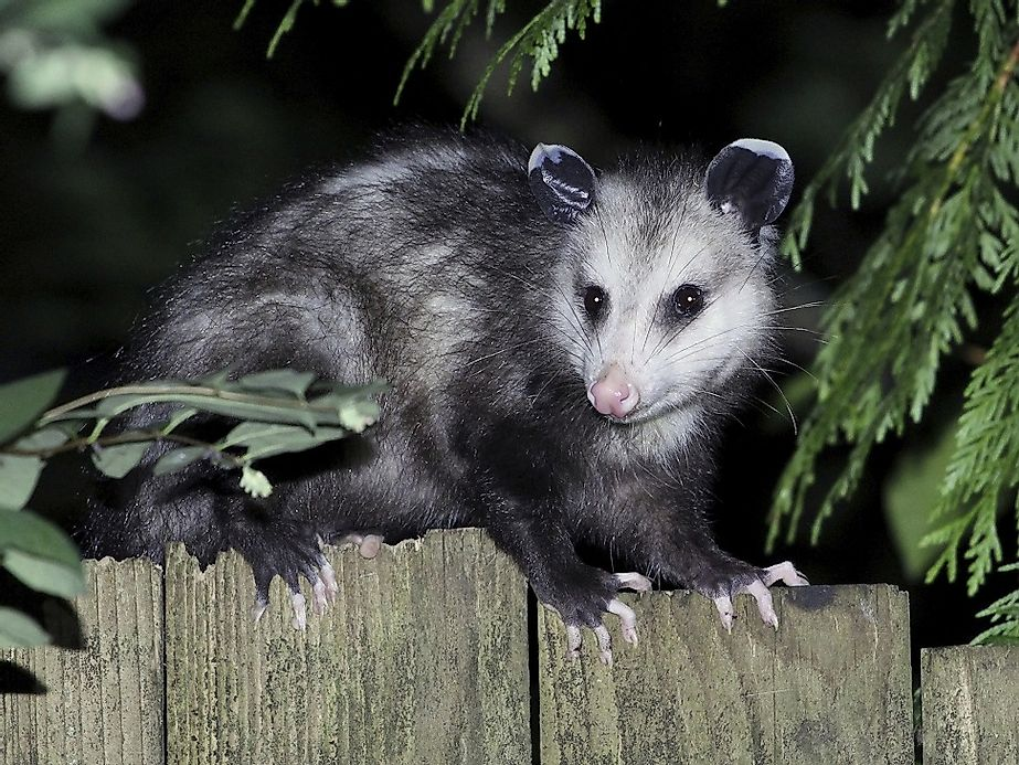Opossum Native To Virginia Opossu...