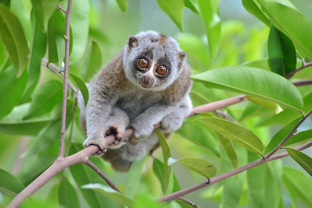 how many species of slow lorises live in the world today