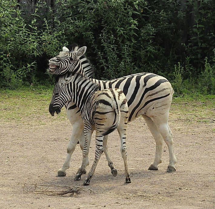 Zebra Facts: Animals of Africa - WorldAtlas.com