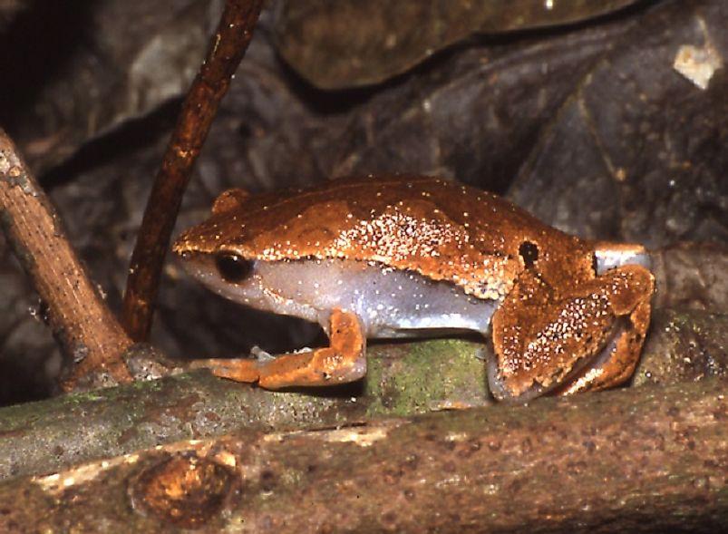 Amphibian Species Of Ecuador WorldAtlascom - Amphibian loss us map