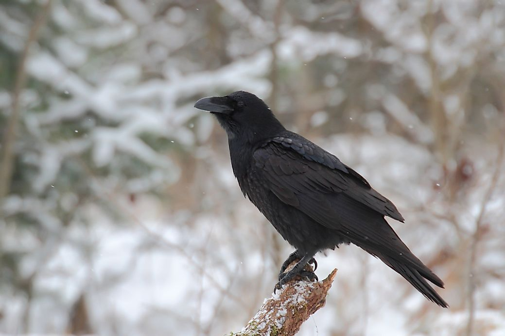 What is the Difference Between a Raven and a Crow ...