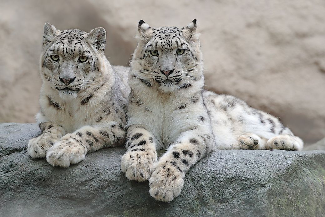 Where Do Snow Leopards Live? - WorldAtlas com