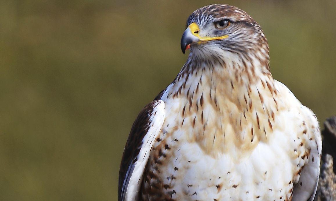 Ferruginous Hawk Animals Of North America Worldatlas Com