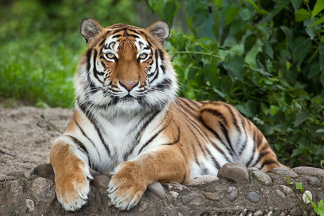 The World's Largest Big Cats - WorldAtlas com