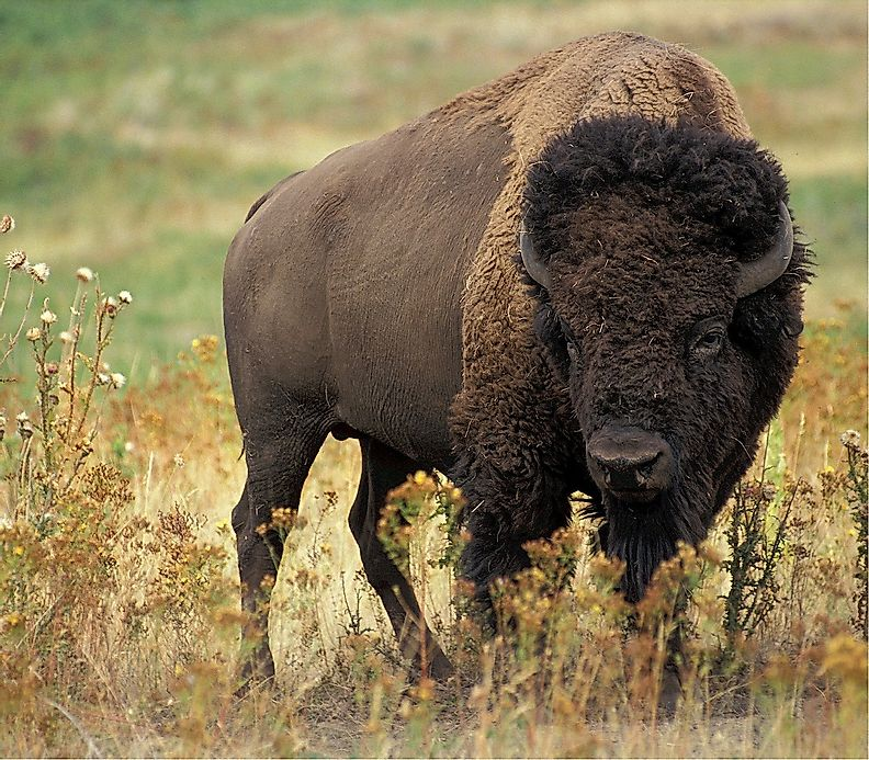Buffalo facts animals of north america for Interesting facts north america