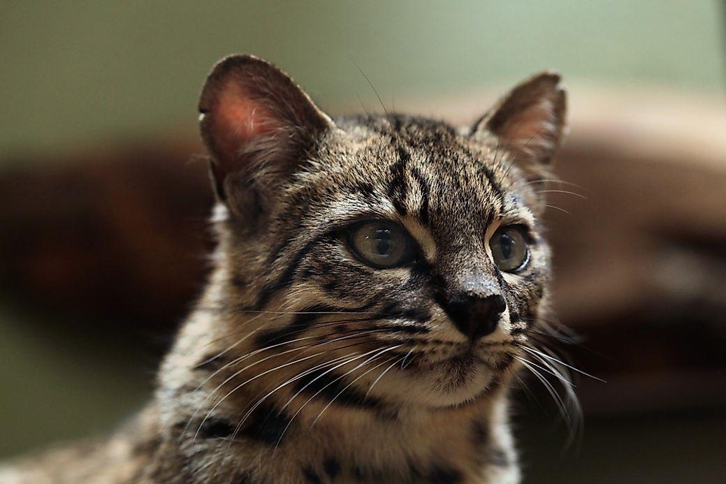 Largest Cat Species In North America