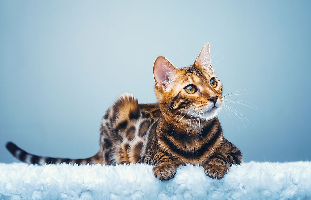 Rarest Cat Breed In The World