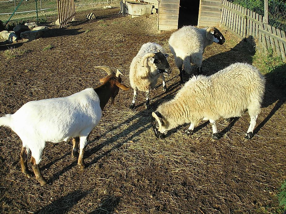 R Goats Top 10 Goat And Sheep ...