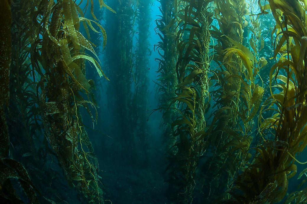 Kelp Forests Forest Types Around The World Worldatlas Com
