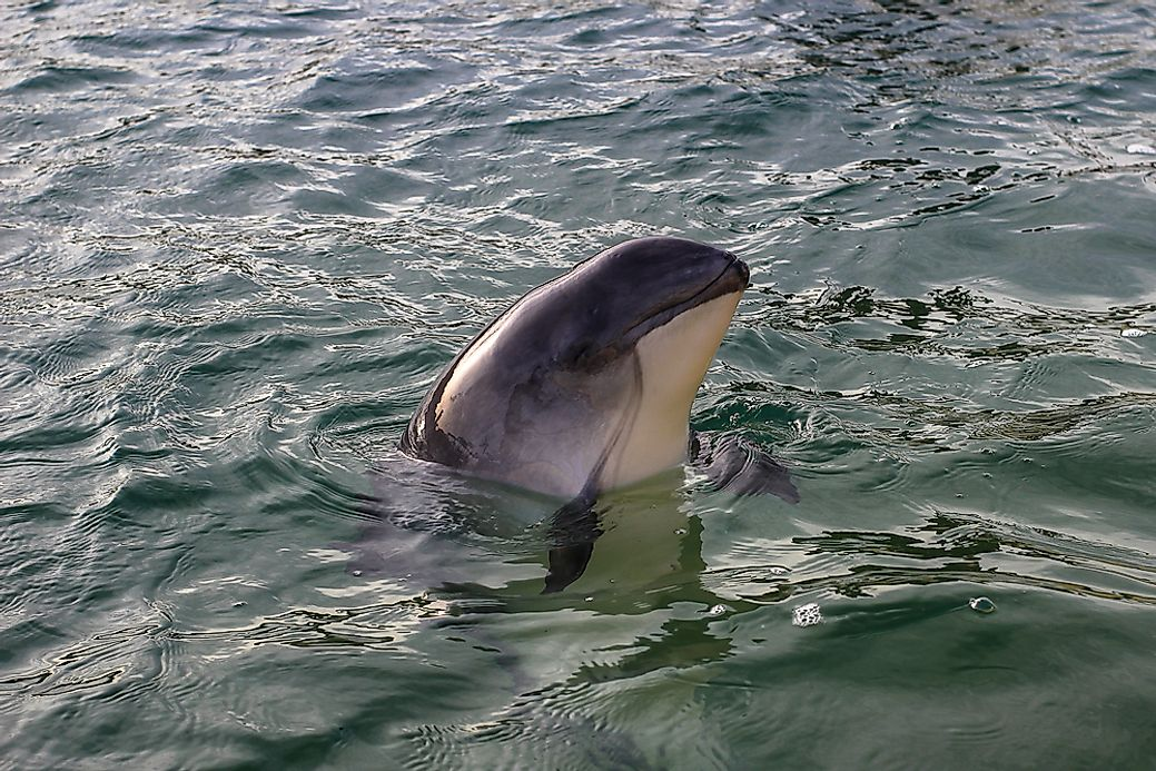 the characteristics of dolphins and porpoises mammals from the group cetacean Dolphins and porpoises 26 cetacean all whales dolphins and porpoises share certain characteristics cetaceans aren't the only group of marine mammals.