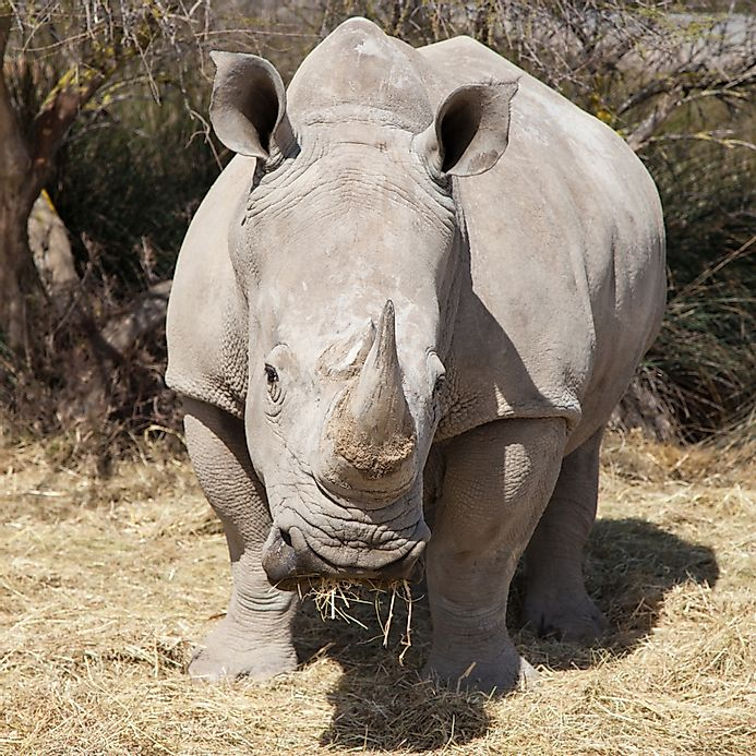 Are Elephants Mammals >> White Rhinoceros Facts: Animals of Africa - WorldAtlas.com