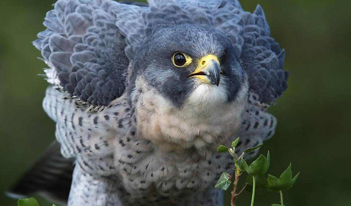 Peregrine Falcon Facts Animals Of North America