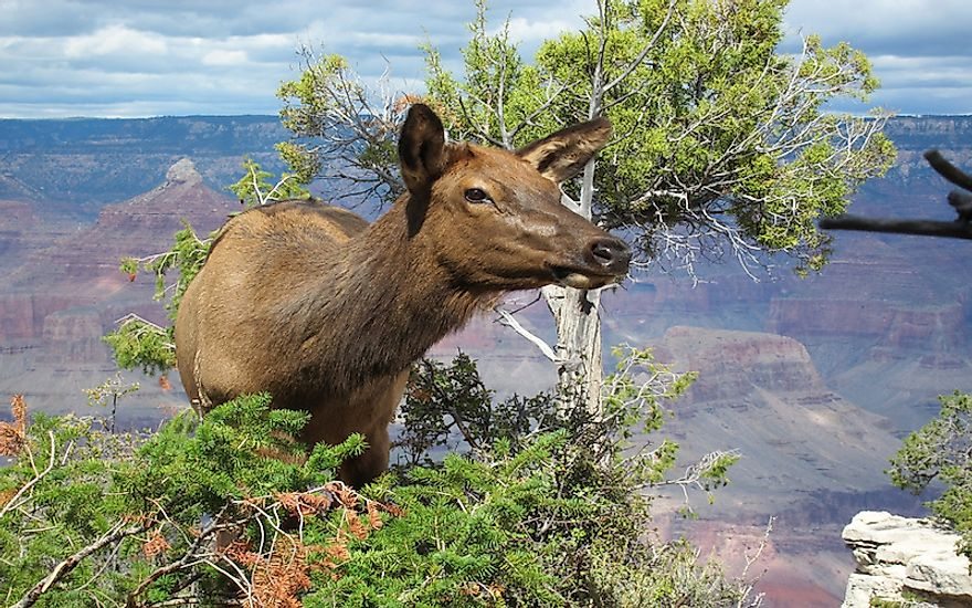 what animals live in the grand canyon