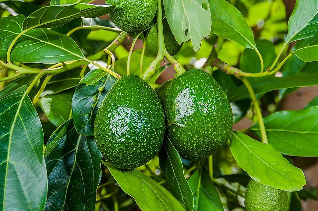 Where Do Avocados Grow WorldAtlascom