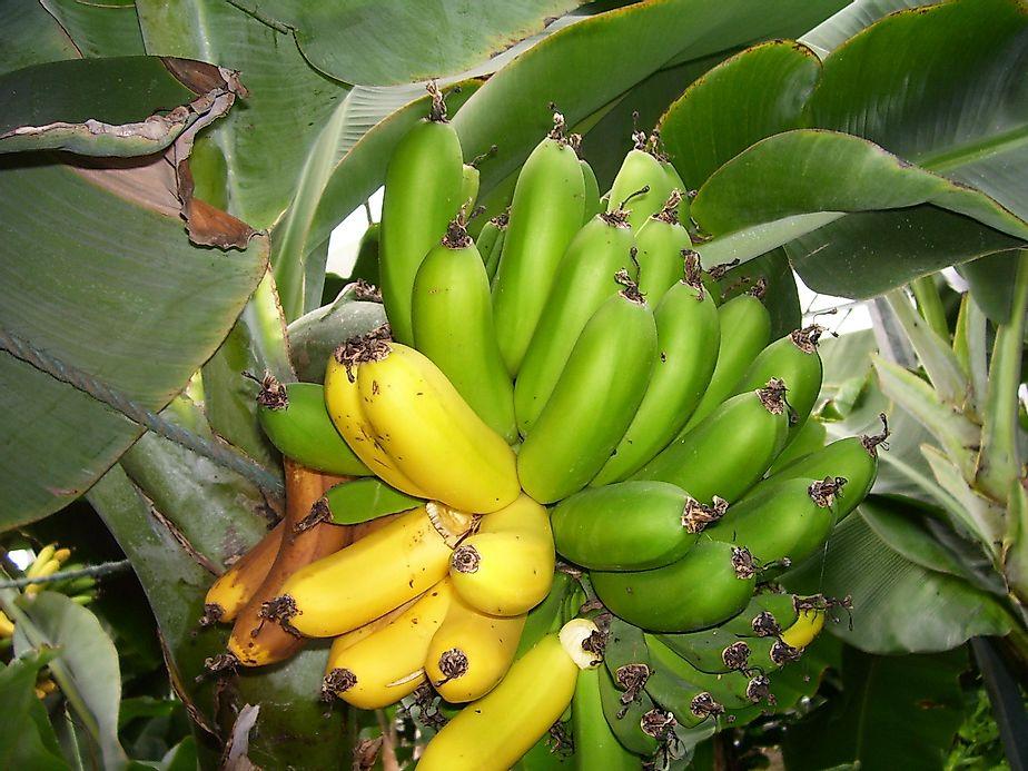 Top Banana Producing Countries In The World Worldatlas Com