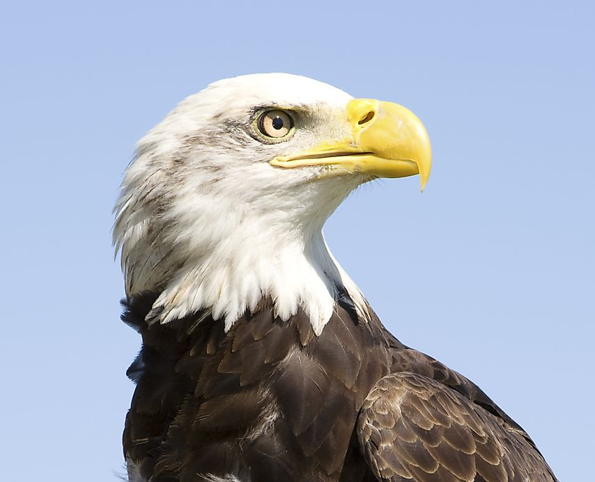 Bald eagle facts animals of north america for Interesting facts north america
