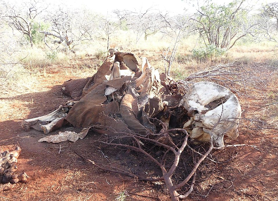 alarming rates of elephant poaching in africa