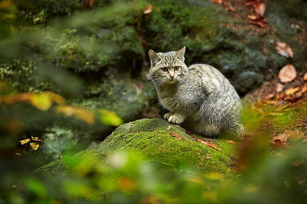 The Six Species Of Cats Of The Felis Genus Worldatlas Com