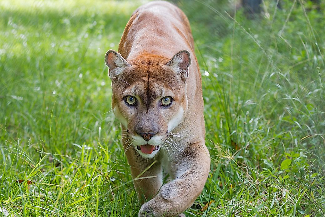 florida panther facts animals of north america