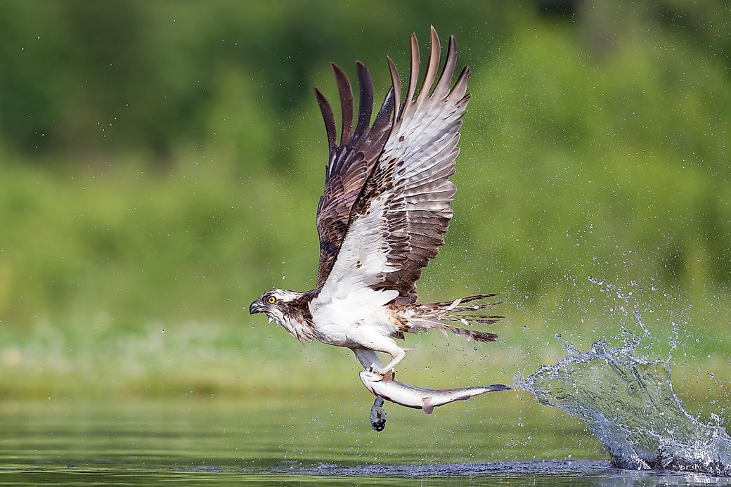 Osprey facts animals of north america for Interesting facts north america