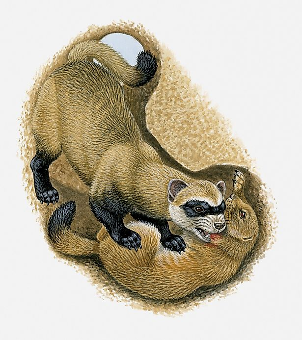 Black footed ferret facts animals of north america for Interesting facts north america