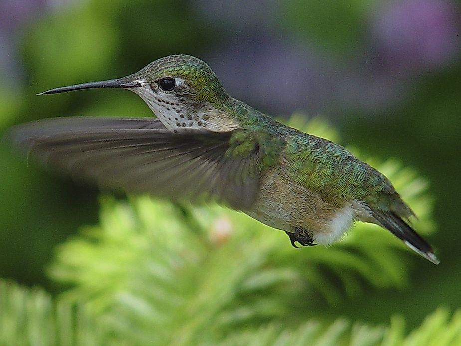Calliope hummingbird facts animals of north america for Interesting facts north america