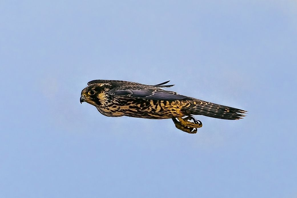 Land Speed Record >> The Fastest Flying Birds In The World - WorldAtlas.com