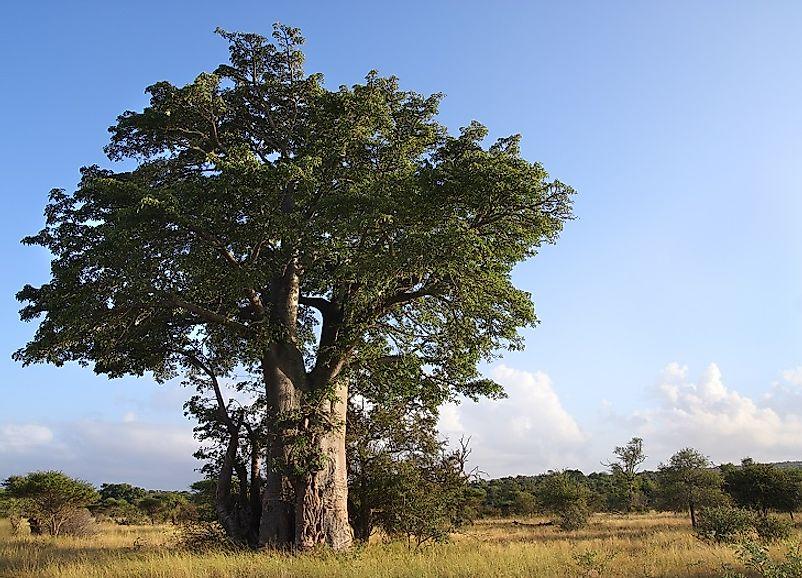 Native Plants Of Madagascar Worldatlas Com
