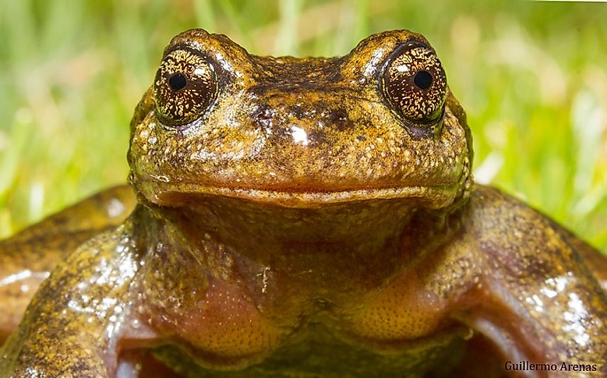 Native Amphibians Of Chile Worldatlas Com