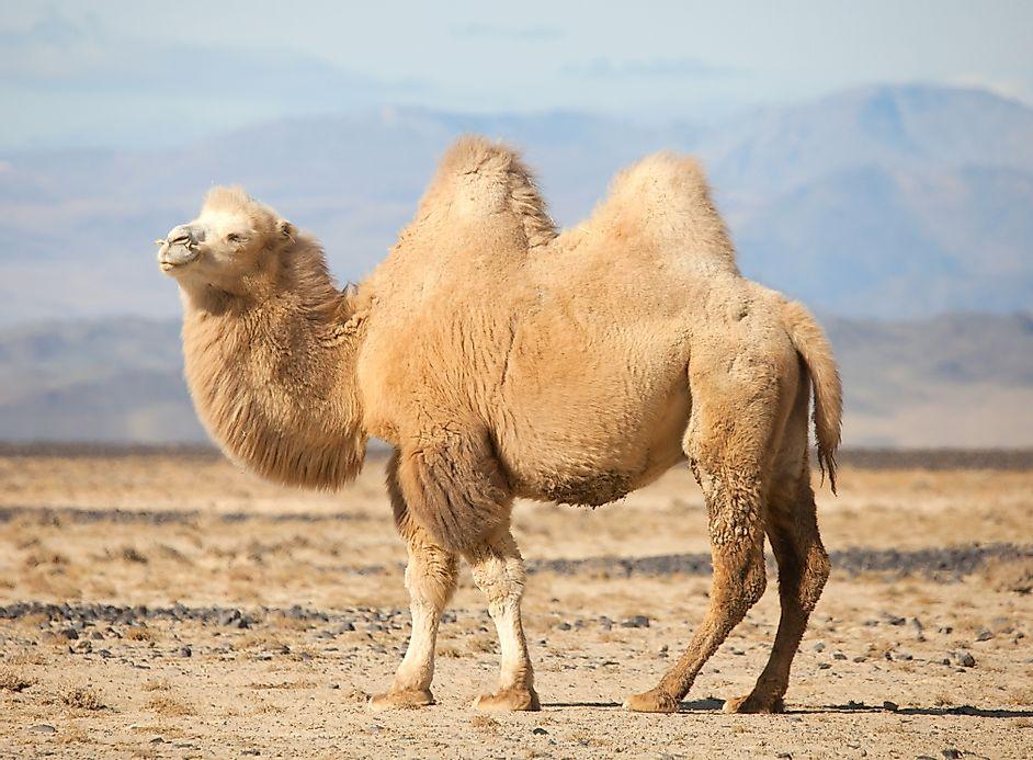 Mongolia S Most Threatened Mammals Worldatlas Com