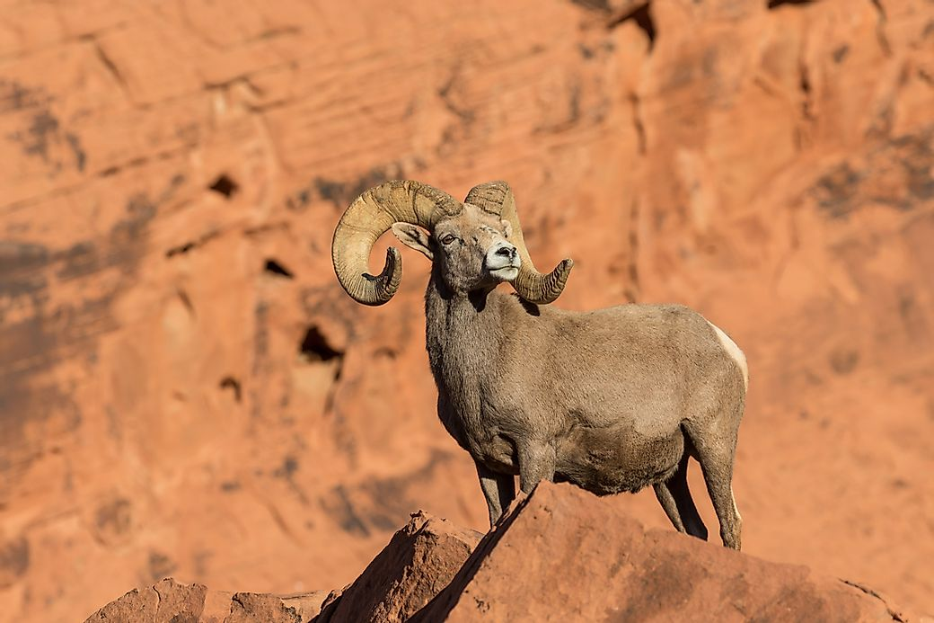 Bighorn sheep facts animals of north america for Interesting facts north america