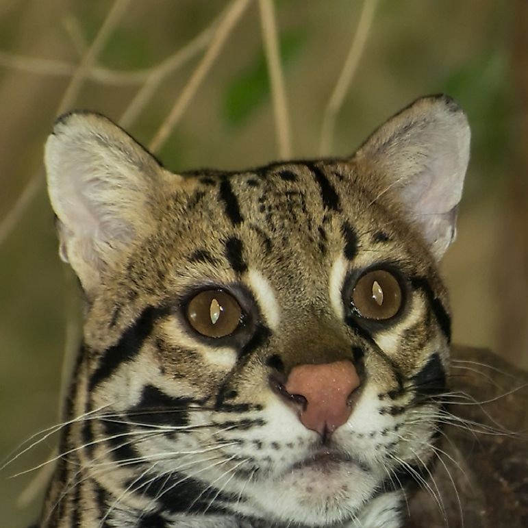 Ocelot Facts: Animals of North America