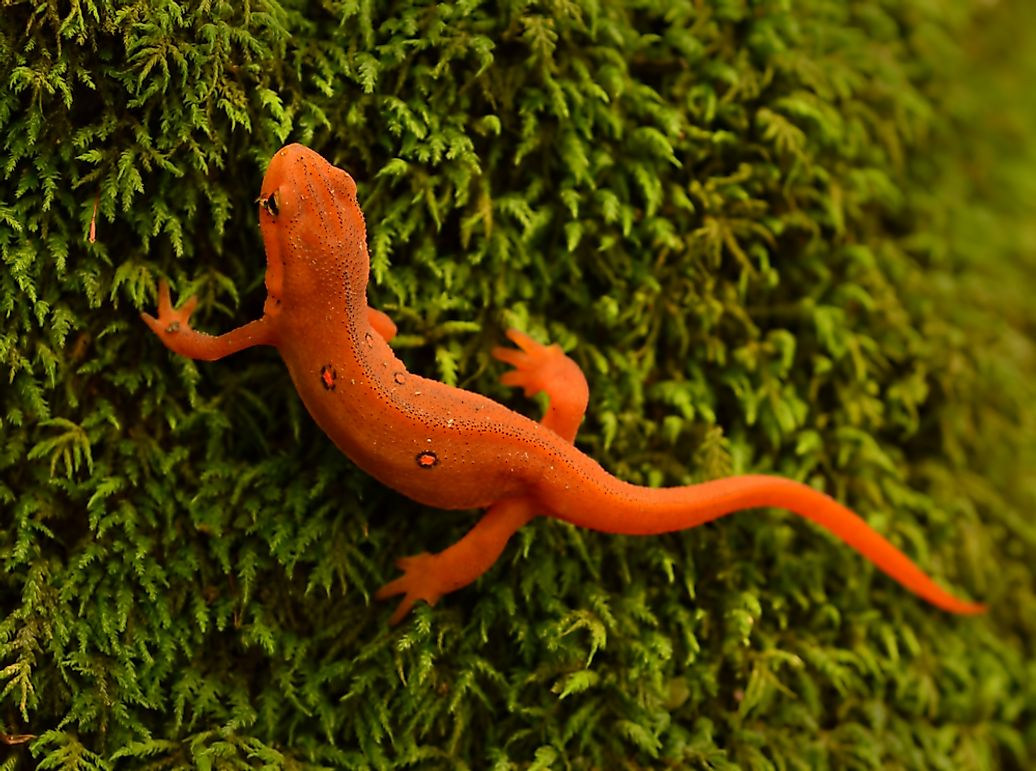 What Is The New Hampshire State Amphibian?