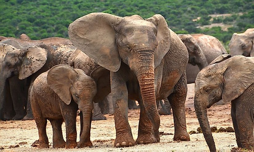 How Many Types Of Elephants Are There? WorldAtlas com