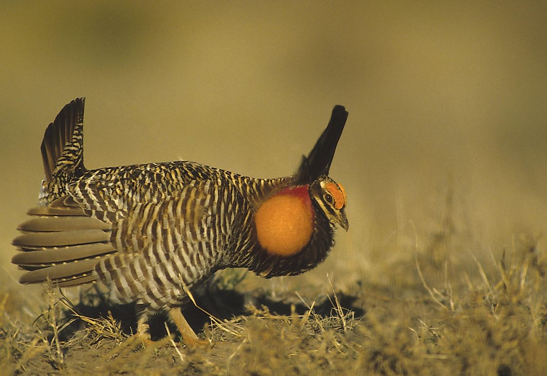 Prairie Chicken Facts: Animals of North America