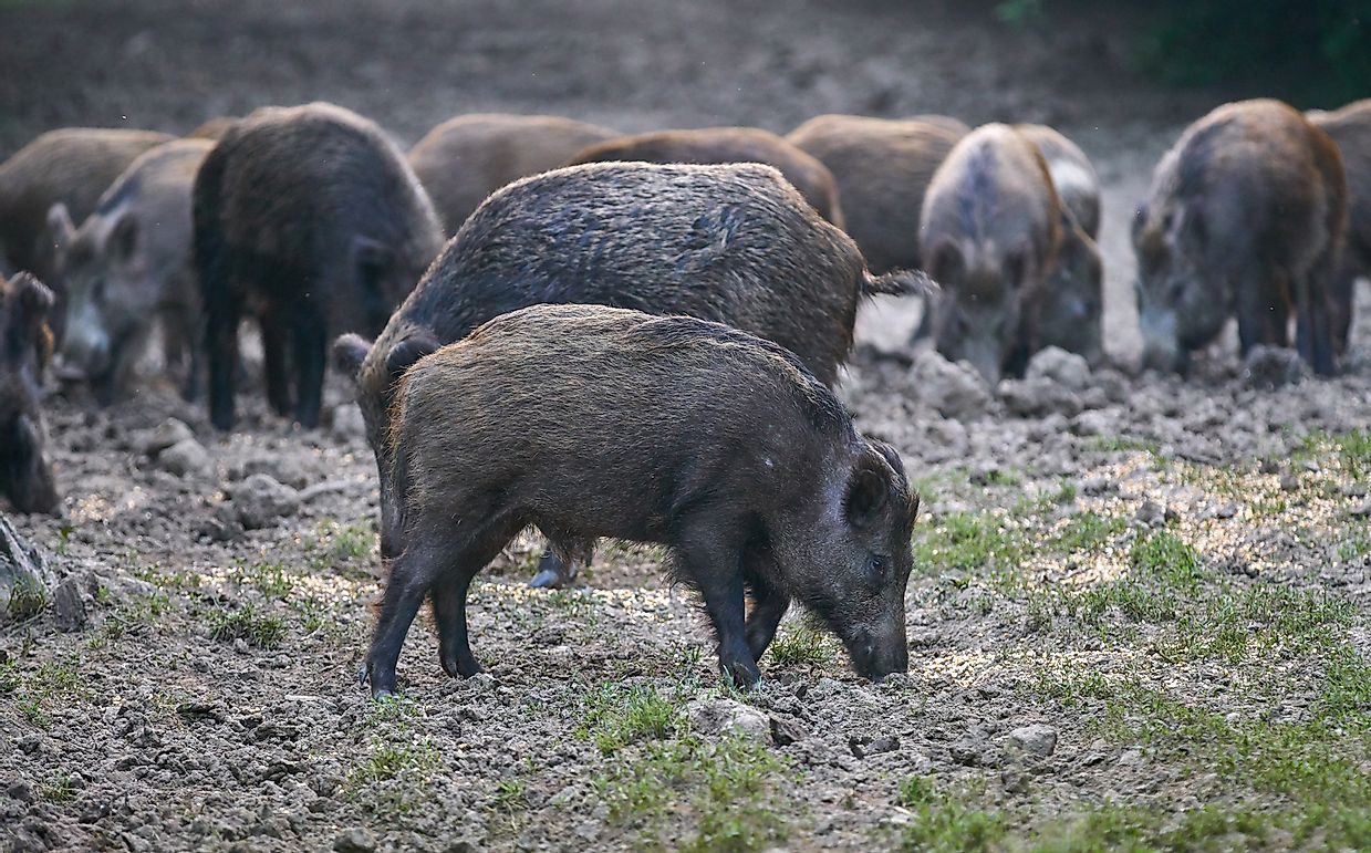 Feral Hogs: the 2 Billion Dollar Problem the Hunting Industry Created