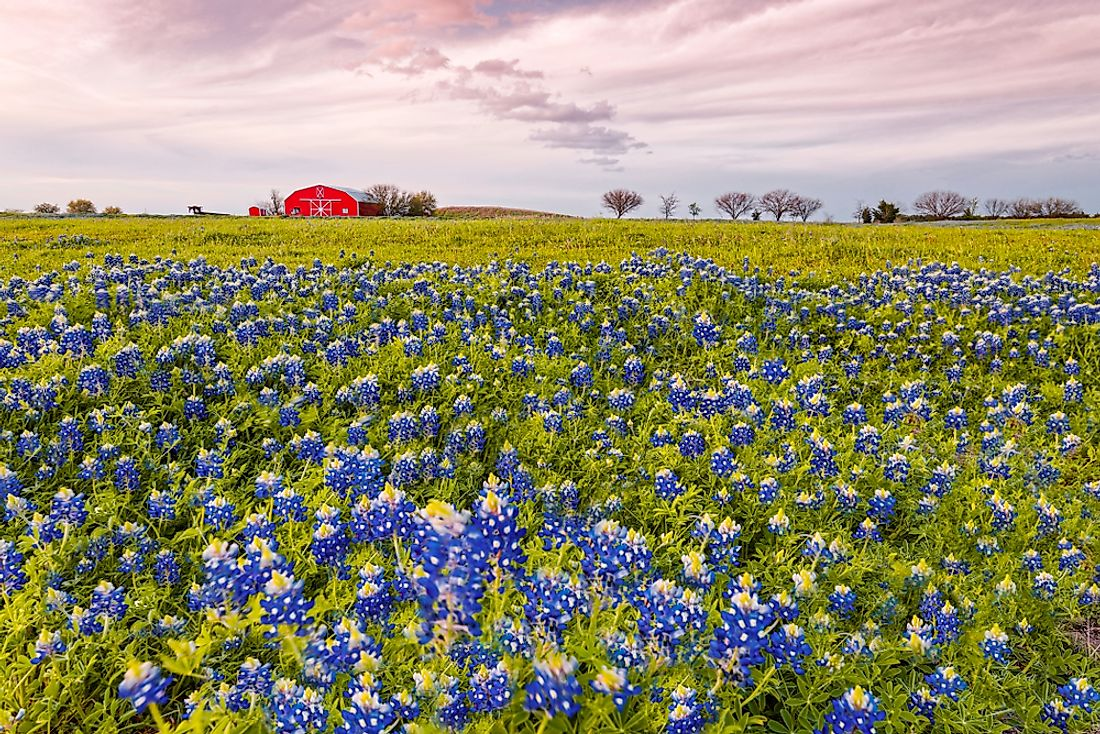 What Is The Texas State Flower Worldatlas Com