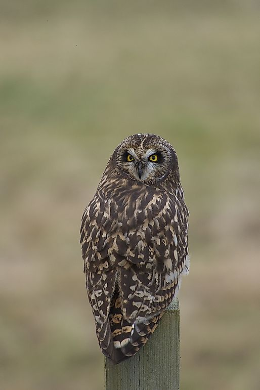 Short-Eared Owl Facts: Animals of North America