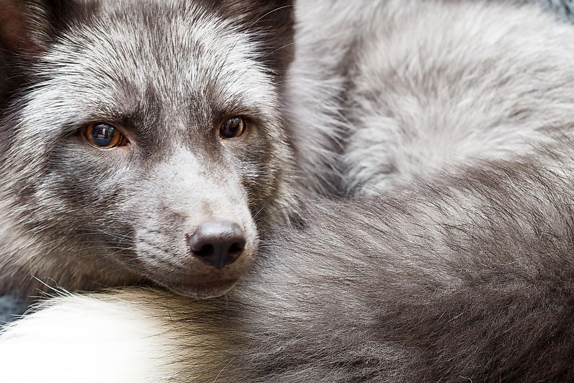 What Is The Silver Fox Experiment?