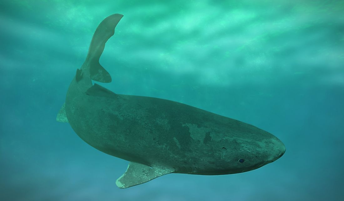 What Are The Biggest Threats To The Greenland Shark?