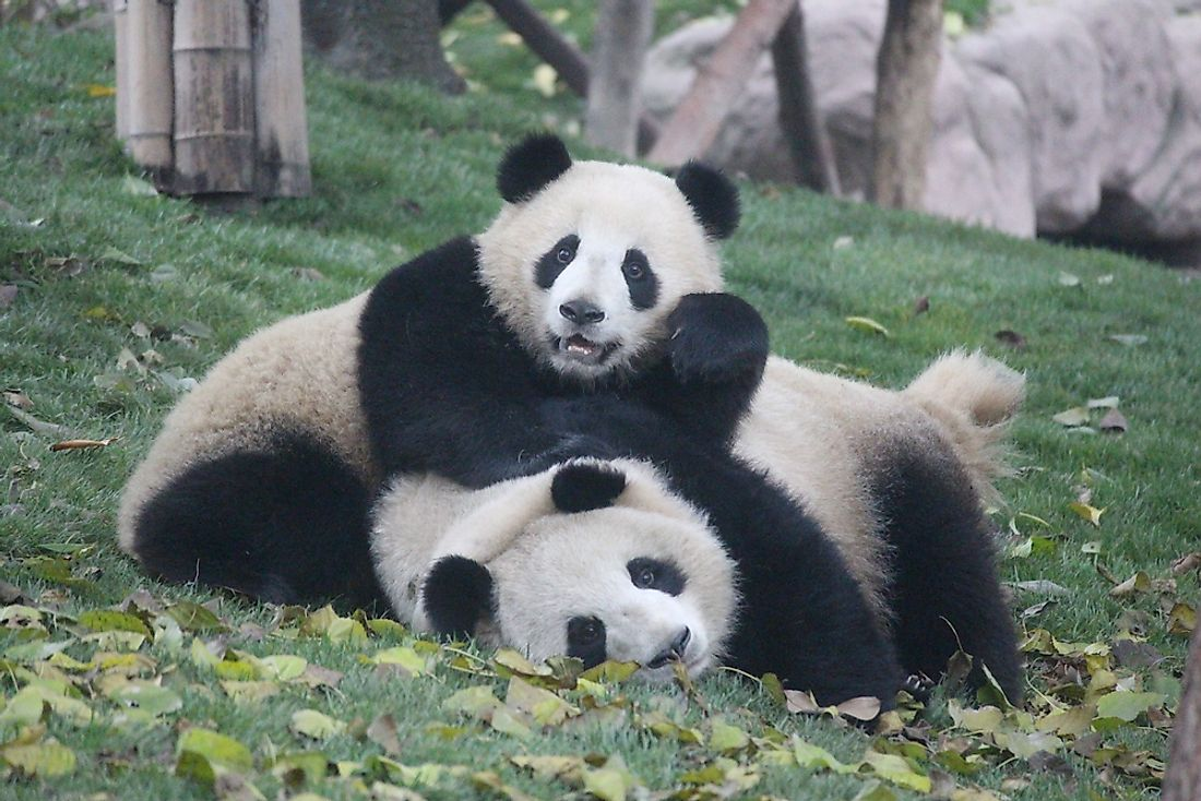 The World's Most Famous Living Giant Pandas And Their Unique Life Stories