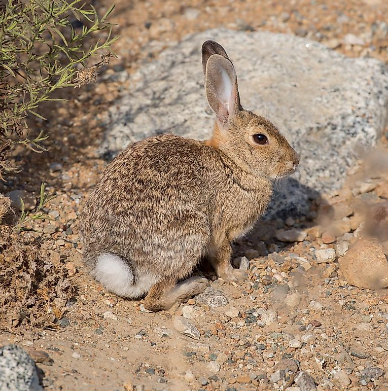 Desert Cottontail Facts: Animals of North America