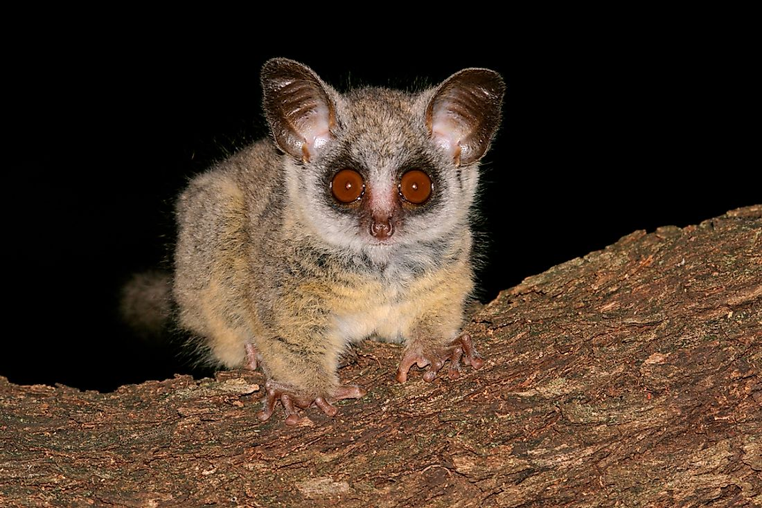 Bushbaby Facts - Animals of Africa