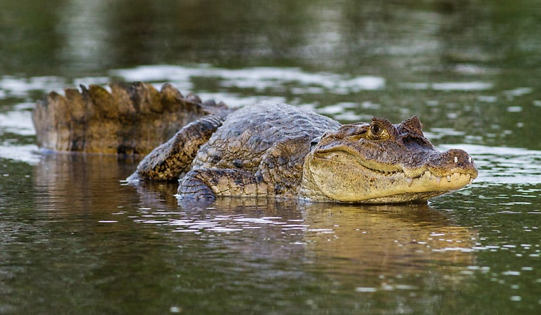 How Many Species Of Caimans Are There?
