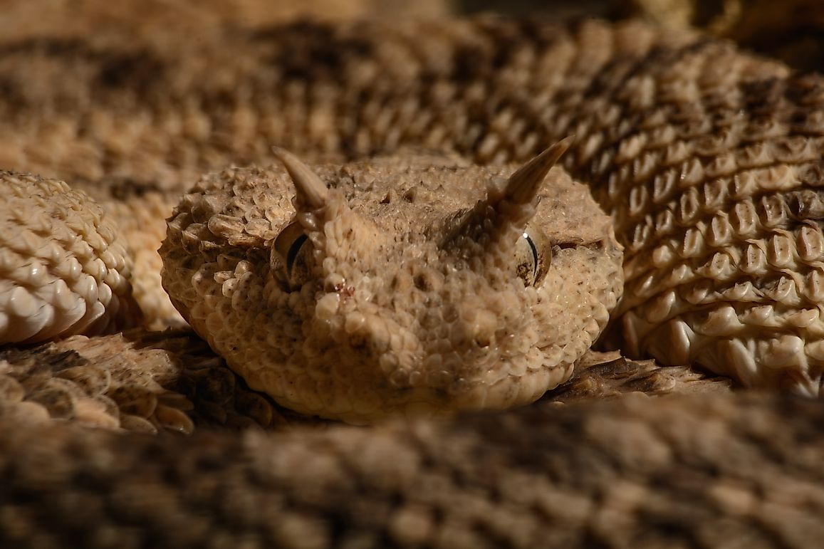 Native Reptiles Of Mauritania